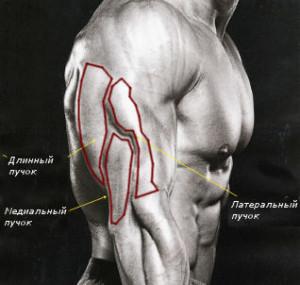 Мышцы трицепса