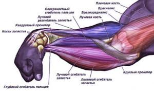 Мышцы предплечий