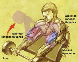 Упражнение на бицепс в тренажерном зале