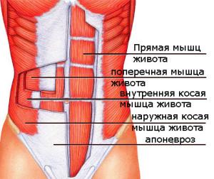 структура мышц пресса